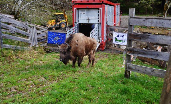 Un nou grup de zimbri ajunge cu bine în Munții Țarcu