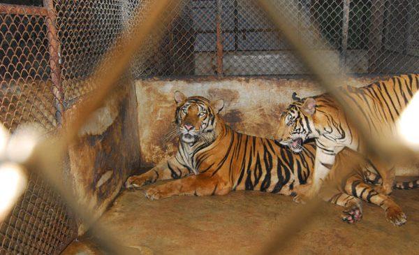 Victorie! Fără animale sălbatice la circ, în România