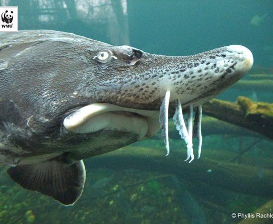 Protejarea sturionilor, prioritară de Ziua Mondială a Peștilor Migratori