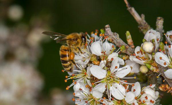 Pe 20 mai, Ministerele Agriculturii din Statele Membre UE discută viitorul albinelor
