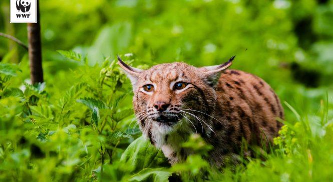 11 Iunie: Ziua Internațională a Râsului, cea mai mare felină sălbatică a Europei