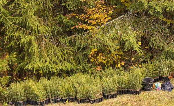 Pădurea JYSK la Roșia Montană – o miniplanetă verde