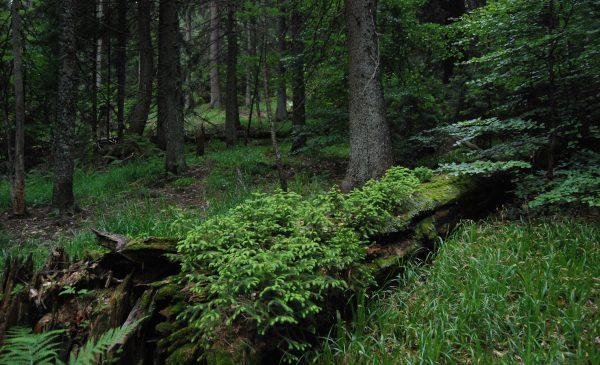 Noul proiect WWF România promovează lemnul mort pentru creșterea rezilienței pădurilor în zona transfrontalieră România-Ucraina
