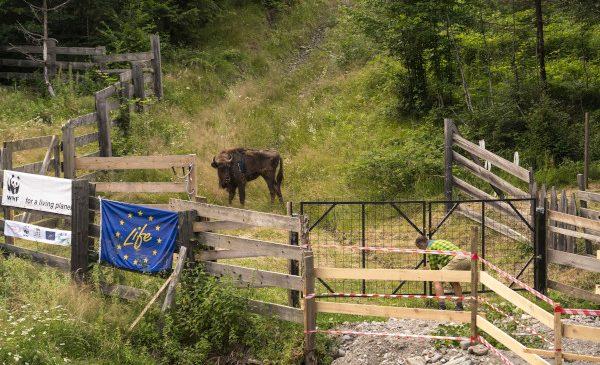 8 zimbri se alătură celei mai mari populații de zimbri liberi din România