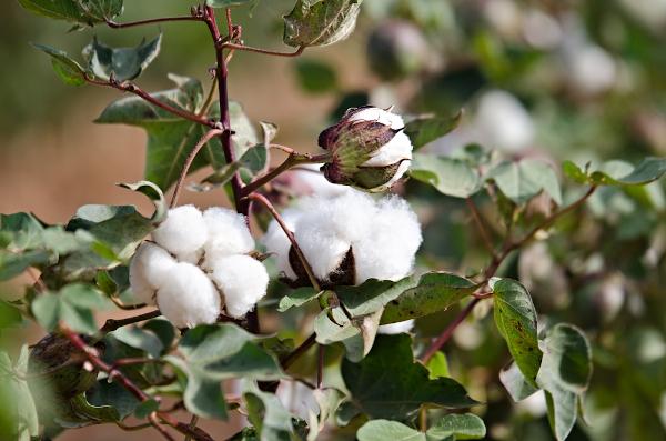 DIESEL devine membru The Better Cotton Initiative (BCI)