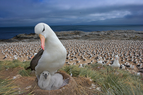 Black-browed albatross (Diomedea / Thalassarche melanophrys) with chick on nest, part of a large colony, Steeple Jason, Falkland Islands. Foto © naturepl.com/Andy Rouse/WWF