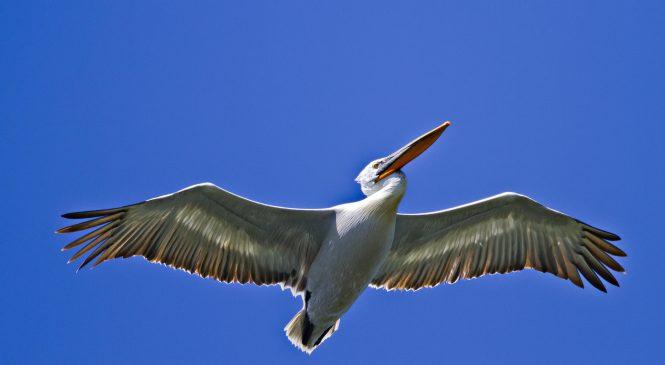 LIFE Danube Free Sky: Proiect transnațional pentru protejarea păsărilor împotriva electrocutării și coliziunii cu liniile electrice de-a lungul Dunării