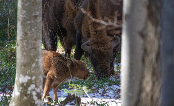 Munții Făgăraș devin acasă pentru zimbri. 17 zimbri noi poposesc în Munții Făgăraș